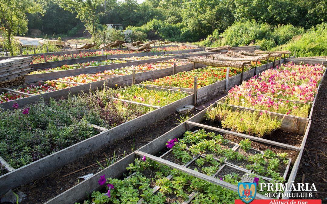 Primăria Sectorului 6 nu cumpără flori, ci le crește în propriile sere 35.000 de fire de begonii, în jardinierele de pe principalele artere